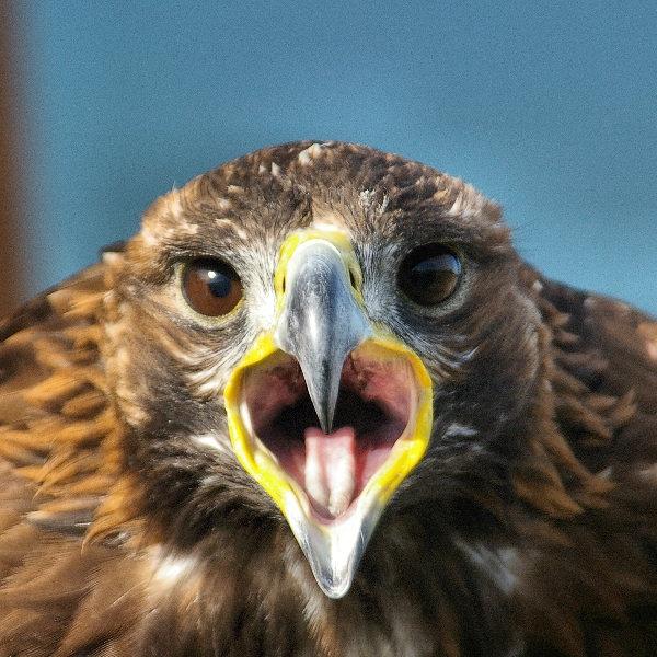 Golden Eagle by allencook