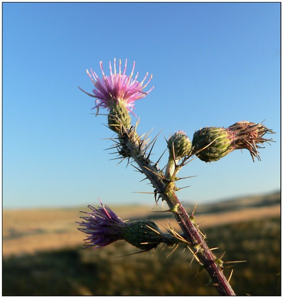 Thistle by bruce295