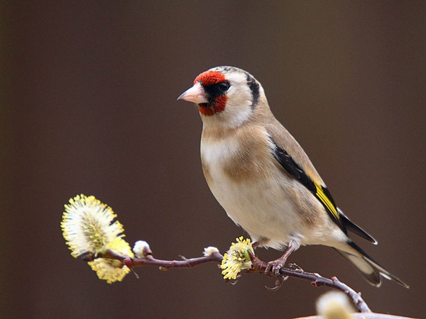 Goldfinch by LeighPerring
