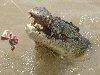 Crocodile by austhome