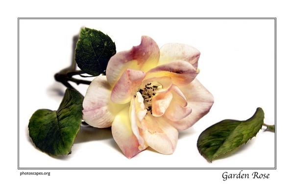 Garden Rose by graeme34