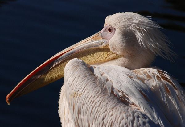 Pelican by stevebidmead