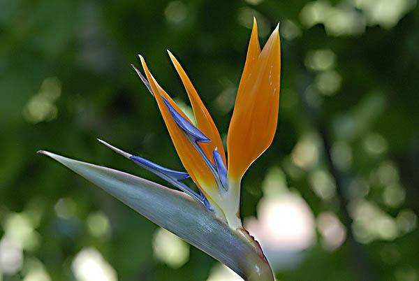 Bird of Paradise Flower by Busseauboy