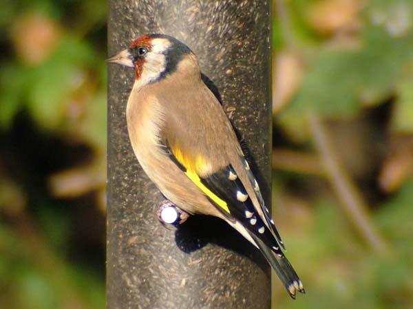 The Goldfinch by Emmybear