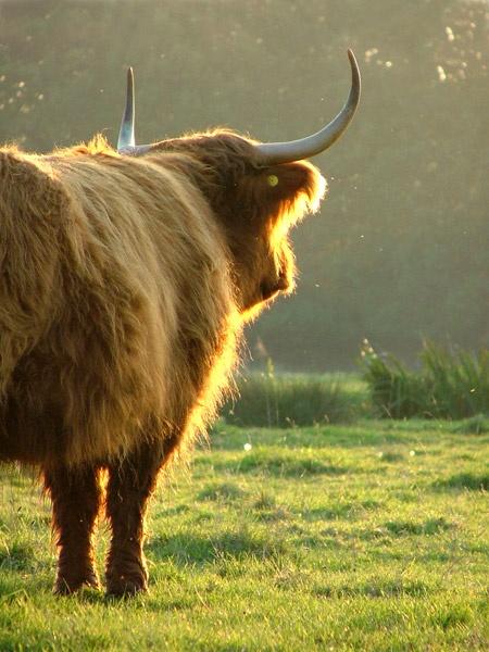 Highland bull by rachepix