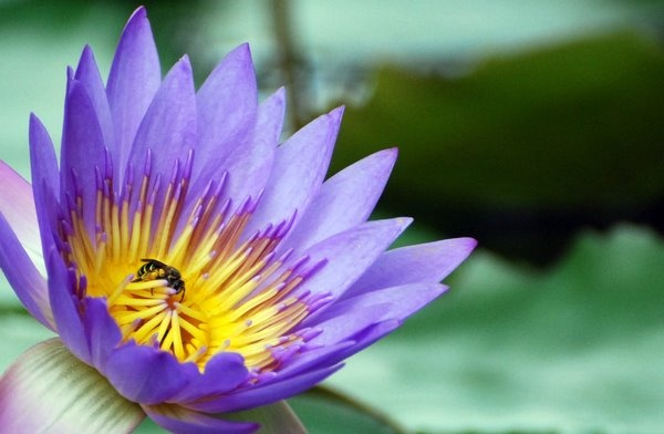 Water Lily by Amir
