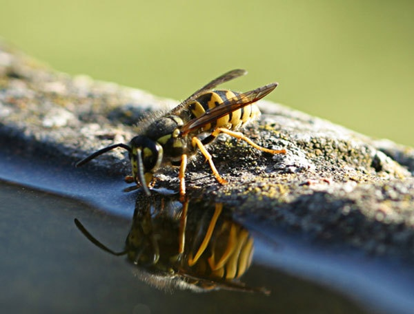 wasp and reflection by john thompson