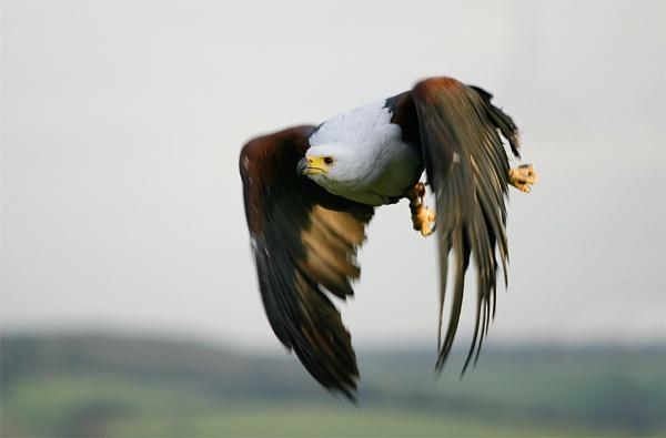 Eagle by teddy