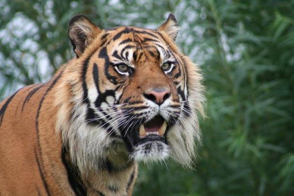 Tiger by joeb