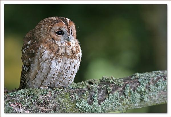 Tawny Owl by Hannahs_Pics