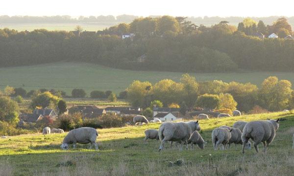 Sheep Gazing by KarlmarxEra