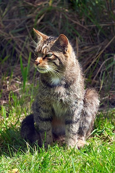 Scottish Wildcat by Steb