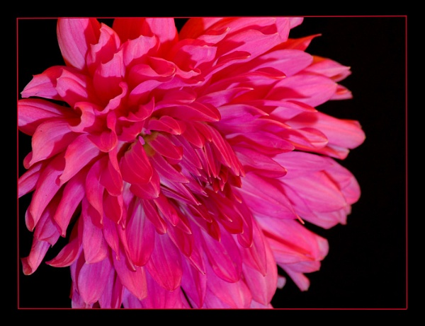 Pink Dahlia by blondiebee