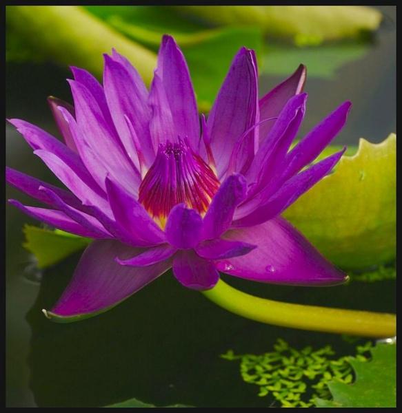 Purple Lily by yasika