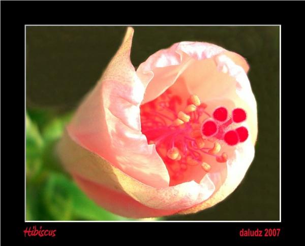 Hibiscus by LourdesV