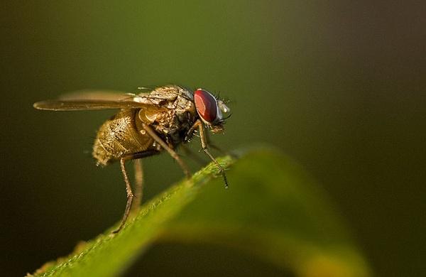 flies by pinangkia