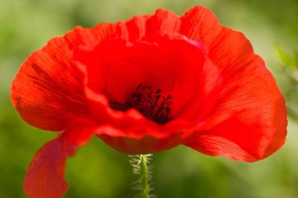 Poppy Red by tanyard