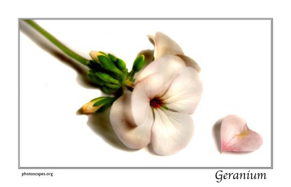 Geranium by graeme34