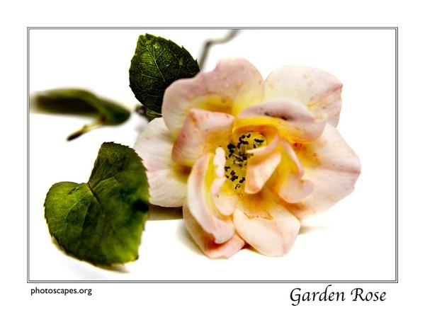 Garden Rose 2 by graeme34