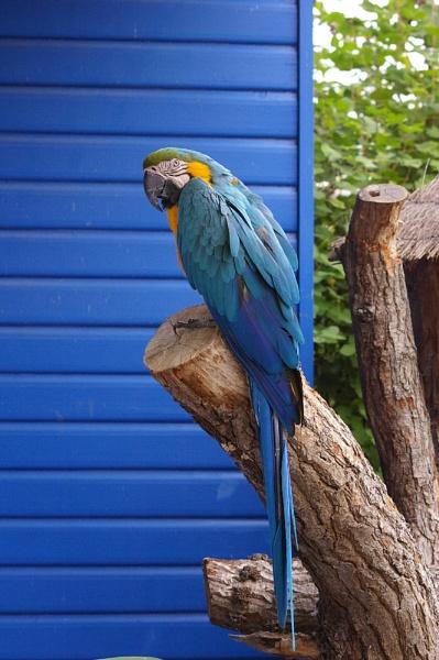 Macaw II by theeyesoftheblind