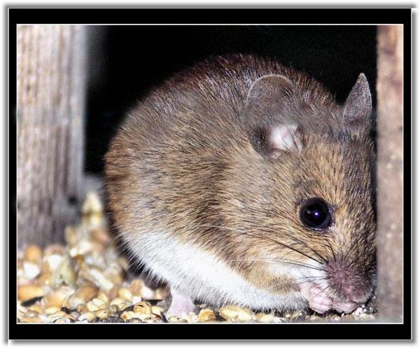 Field Mouse by Rock