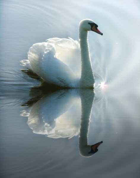 swan by rachepix