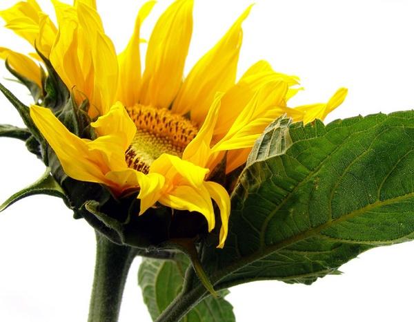 open sunflower by jessbu