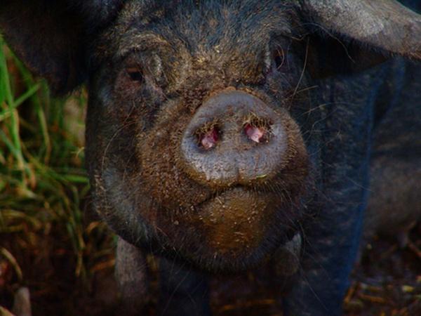 pig by jessbu