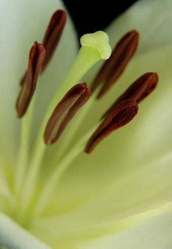 White Lily by Branka