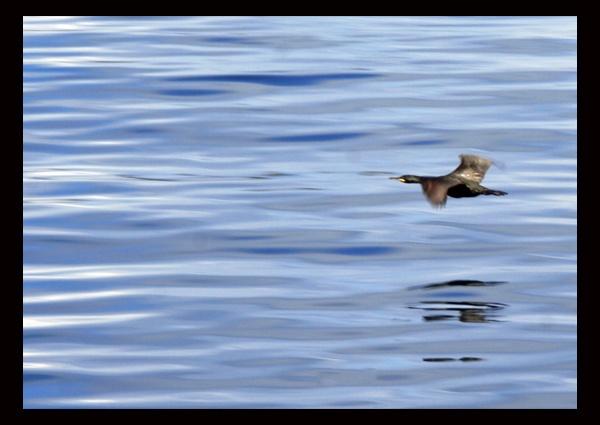 Phalacrocorax carbo by greensurfingbear