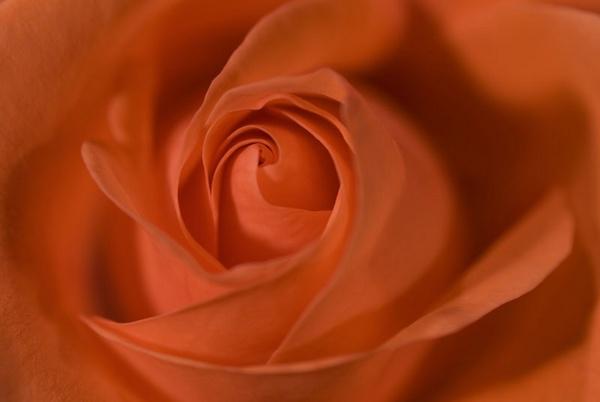 red rose by lensman