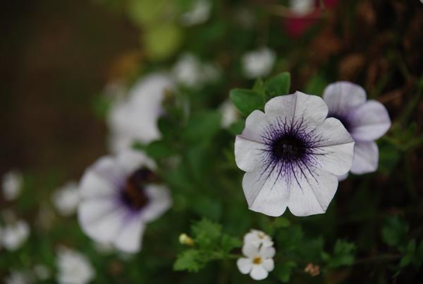 Purple\'s by dans107