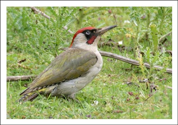 Green Woodpecker by Marian