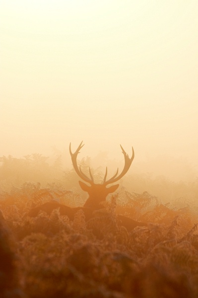 Deer in the mist...again by SteveAngel