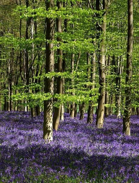 Bluebell woods by dersk