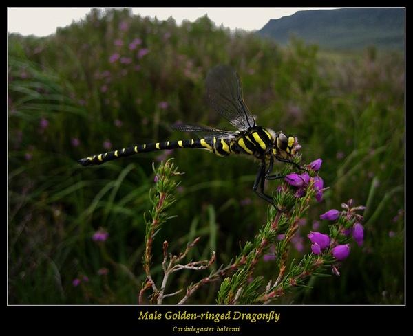 Dragonfly by Sue_R