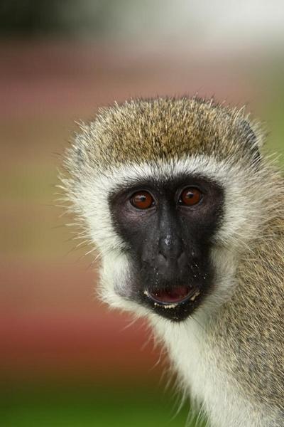 Cheeky Monkey by LeighPerring