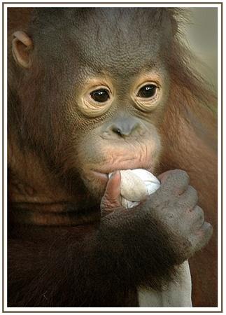 baby orangatan by Rachelscott