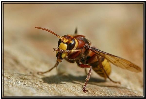 Friendly Hornet by warbstowcross