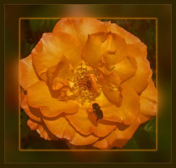 rose \'n\' b by CarolG
