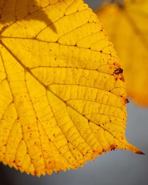 Autumn Gold by Kwosimodo