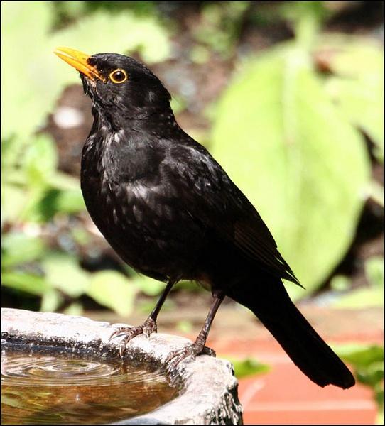 BLACKBIRD DRINKING by sav007