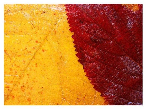 Frozen Autumn Leaves by Lois96