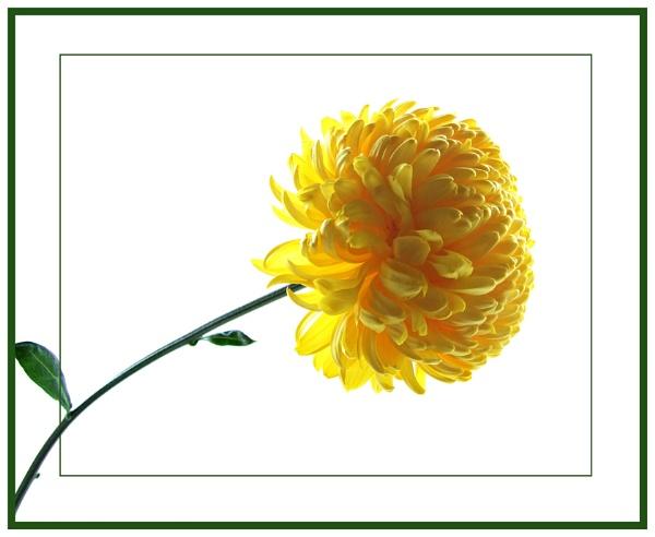 Golden Yellow by sandrish