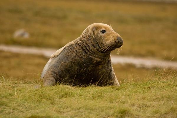 Donna Nook Grey Seal by digitalcaptive