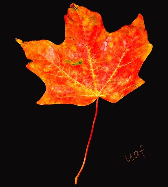 leaf by jackieo