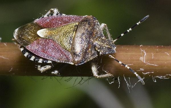 Sloe Bug by JonMA
