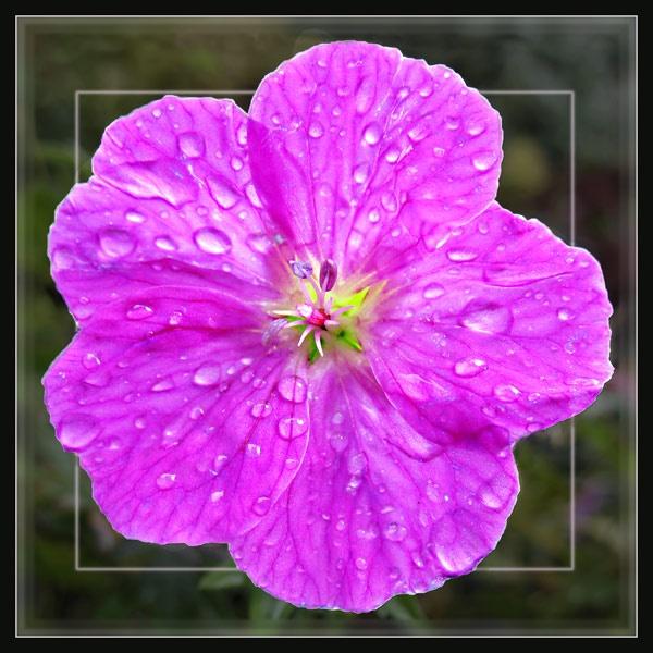 Pink Geranium by Sylviwhalley