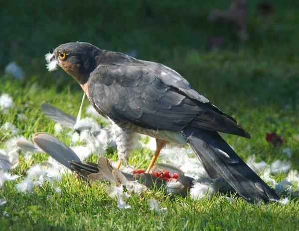 Sparrow-hawk by Thincat