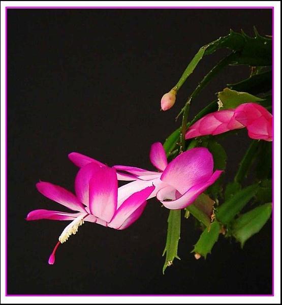 Nov 5th cactus by helenlinda